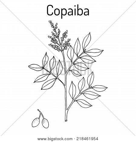 Copaiba Copaifera officinalis , medicinal plant. Hand drawn botanical vector illustration