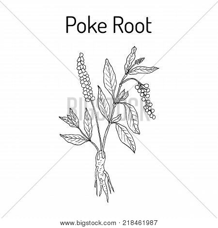 Poke root Phytolacca americana , or pokeweed, medicinal plant. Hand drawn botanical vector illustration