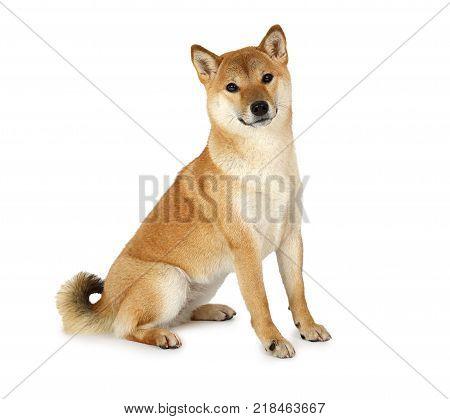 Shiba inu purebred dog isolated on white background.