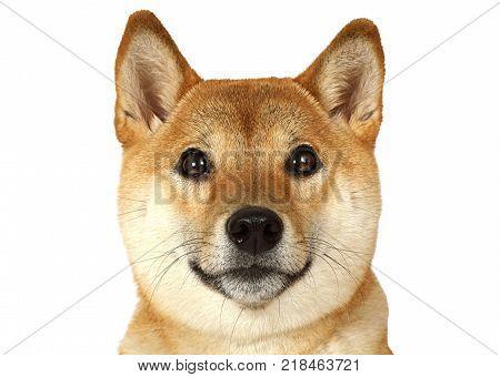 Portrait of Shiba inu purebred dog isolated on white background.