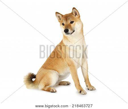 Red-haired Japanese Shiba inu dog sitting over white background