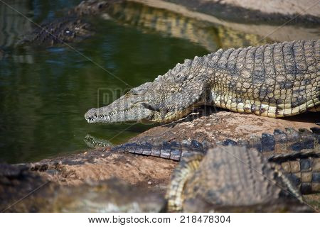 Nile crocodile goes from the shore into the water. Adult large African crocodile.