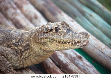 Baby crocodile is looking at the camera. Young African crocodile . Carnivore amphibian wild South Africa