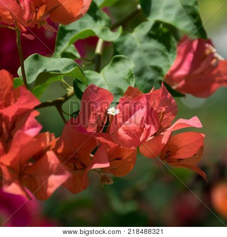 Close up Orange Bougainvilleas with natural background poster