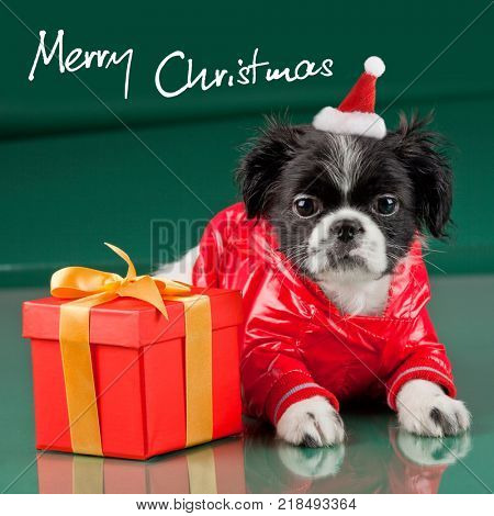 Merry Christmas - dog