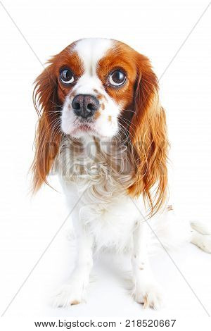 Guilty face. Dog with guilty face on isolated white studio background. Spaniel puppy.