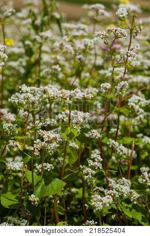 Flowering plants of buckwheat close-up on the field.