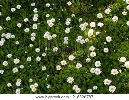 Summer floral background of nature - flowers spanish daisy. Summer landscape with spanish daisy. A large plan of summer flowers. Congratulatory flowers background-spanish daisy.