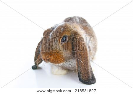 Agouti rabbit. Baby bunny lop on isolated white studio background. Lop eared brown agoutu colored rabbit. Cute Pet animal photos.