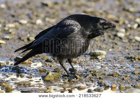 A carrion crow calling with head bowing posture to defend it's territory
