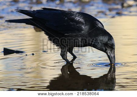 A Carrion Crow drinking from a pool of water