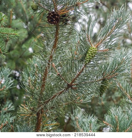Section of Douglas Fir tree showing the needles and cones both mature and developing.
