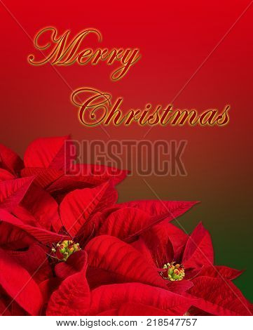 Close up of a red poinsettia Christmas Star flower (Euphorbia pulcherrima). Isolated on red and green background with Merry Chrismtas greeting text.