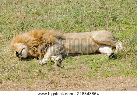 Closeup of a male Lion sleeping (scientific name: Panthera leo, or