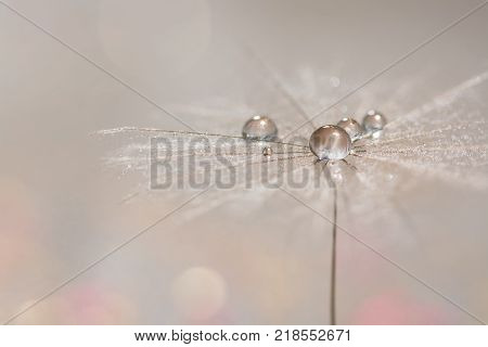Silvery drops of dew on a dandelion seed. Macro of a dandy on a gentle background. Selective focus.