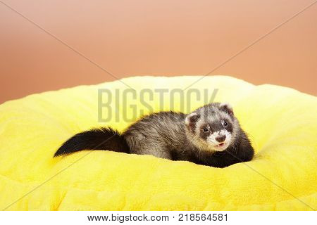 Pet friend - Ferret portrait in studio on yellow bed