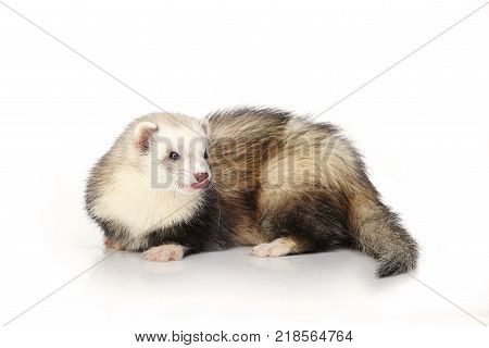 Cute ferret on white background posing for portrait in studio