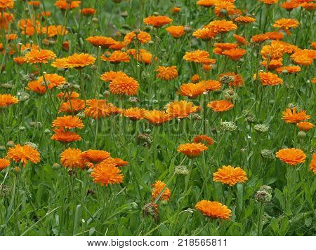 flower bed of a flower marigold botanical garden of Hradec Kralove Czech Republic