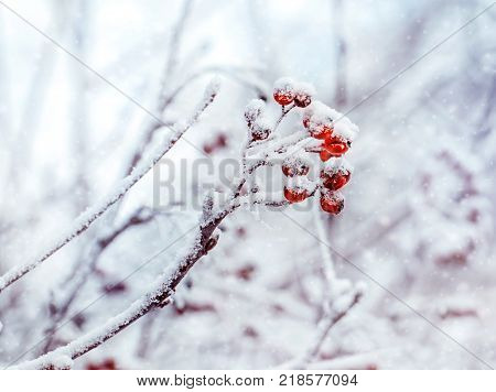 Winter background with branches of the red mountain ash covered with hoarfrost. Winter frosty trees on snow white background. Snow winter in town.