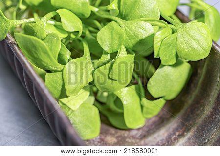 Miner's lettuce in a brown nostalgic baking dish poster