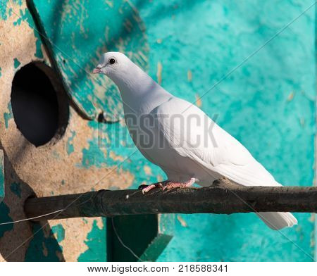 white dove in nature . In the park in nature
