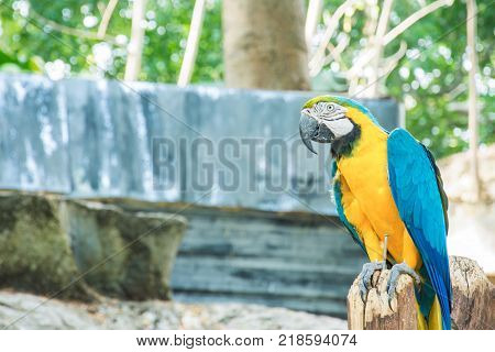 macaw bird blue yellow color hold on timber