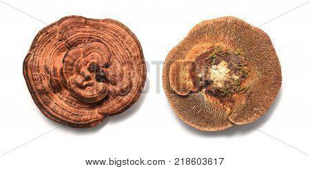 Daedaleopsis confragosa fungus known as the thin walled maze polypore or the blushing bracket