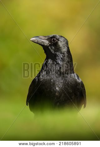 Carrion crow standing on a grass against green background, UK.