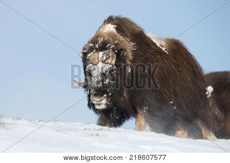 Male musk ox standing in the mountains of Dovrefjell in tough winter conditions in Norway