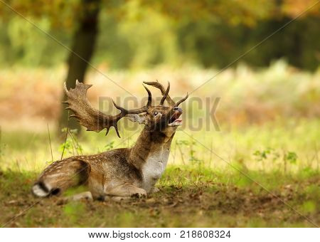 Fallow deer (Dama dama) stag lying on the ground and bellowing during a rutting season in autumn, UK.