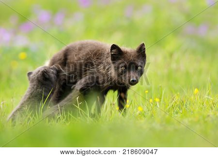 Blue morph arctic fox feeding her cubs in the meadow in summer, Iceland.
