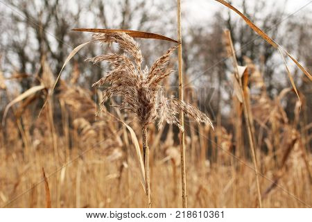 some sear plants of reed in autumn