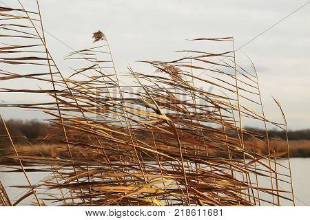 some sear plants of reed waving in the wind in autumn