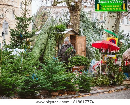 STRASBOURG FRANCE - DEC 4 2017: Christmas tree sale at the farmer market in central Strasbourg with evergreen fir trees from Alsace with senior woman preparing crown and trees for customers - Sapins d'Alsace