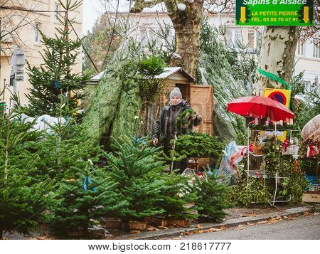 STRASBOURG FRANCE - DEC 4 2017: Christmas tree sale at the farmer market in central Strasbourg with evergreen fir trees from Alsace - senior woman seller preparing crowns and trees for clients
