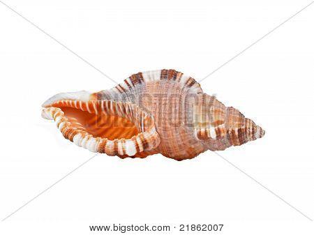 Cockleshell of the Black Sea Rapana venosa (thomassiana)