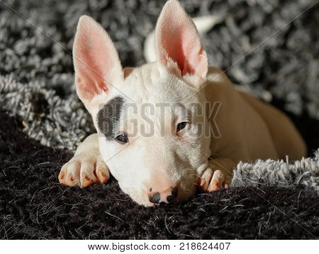Close up of a bull terrier puppy resting in the sun in a bed