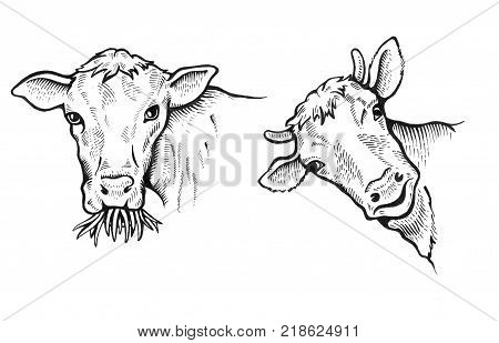 Portrait of Bulls. One bull chews grass and looks menacingly. Cow peeps out with a slight smile. Sketch of a friesian cow face. Bitmap illustration