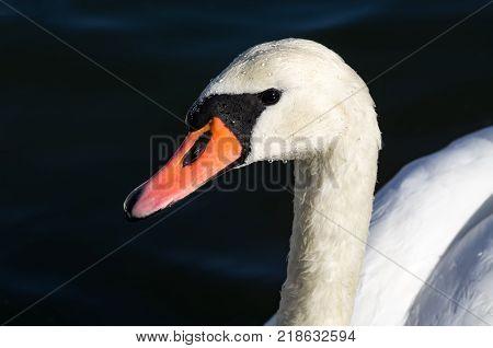 Head of a mute swan (Cygnus olor) with water drops on it. Portrait of a beautiful majestic bird.