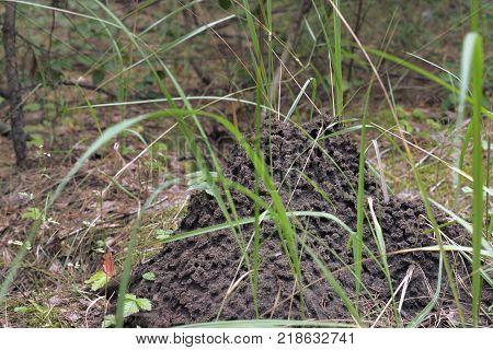 a picturesque anthill among high green grass