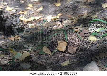 a Hedgehog in the deciduous forest among the fallen leaves