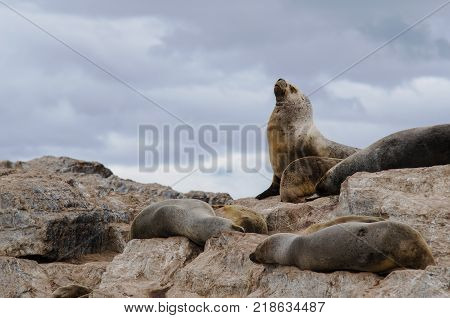 Sea Lions in the Beagle Channel near the City of Ushuaia. Patagonia Argentina