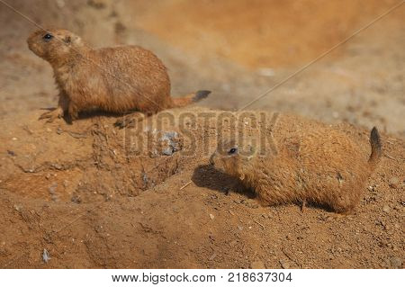 Very cute black tailed prairie dog, Cynomys ludovicianus.