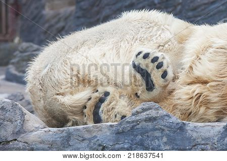 Close-up of black foots of sleeping polarbear in Prague