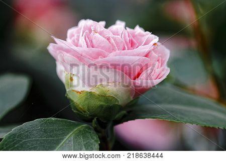 Blossom of Pink Camellia japonica L. Debutante Theaceae