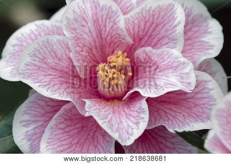 White Pink Camellia-Camellia japonica L.  Yours truly