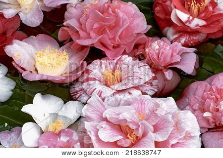 Camellia flowers in the water basin - Camellia japonica L.
