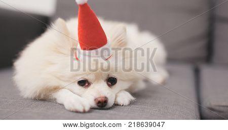 Pomeranian dog lying on sofa with Santa Claus hat