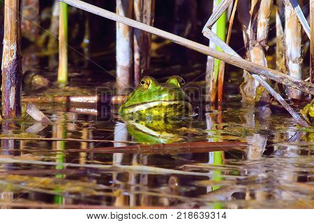 A male Arizona Bull Frog guarding his pond in the Arizona desert.