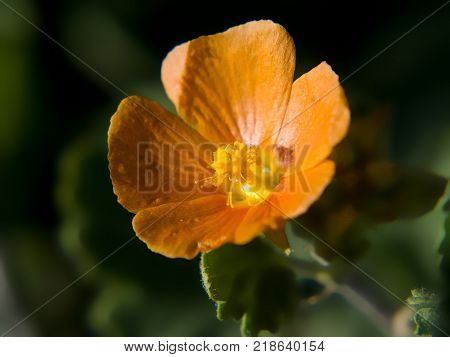 A Species of Wildflower native to Arizona called Emorys Globe Mallow.